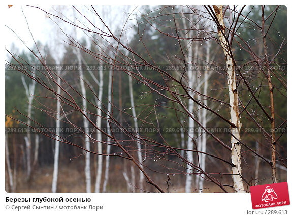 Березы глубокой осенью, фото № 289613, снято 27 октября 2007 г. (c) Сергей Сынтин / Фотобанк Лори