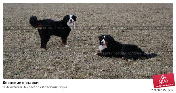 Купить «Бернские овчарки», фото № 151977, снято 16 апреля 2006 г. (c) Анастасия Некрасова / Фотобанк Лори