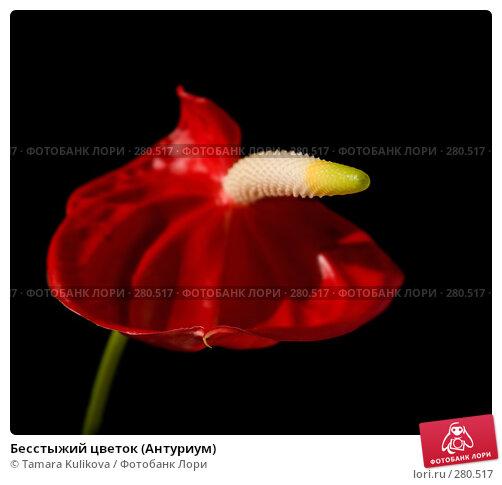 Бесстыжий цветок (Антуриум), фото № 280517, снято 10 мая 2008 г. (c) Tamara Kulikova / Фотобанк Лори