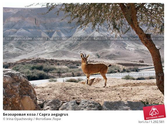 Купить «Безоаровая коза / Capra aegagrus», фото № 1292581, снято 12 декабря 2009 г. (c) Irina Opachevsky / Фотобанк Лори