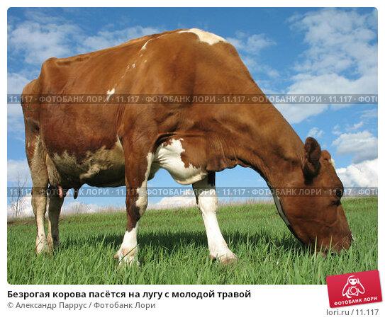 Купить «Безрогая корова пасётся на лугу с молодой травой», фото № 11117, снято 16 апреля 2006 г. (c) Александр Паррус / Фотобанк Лори