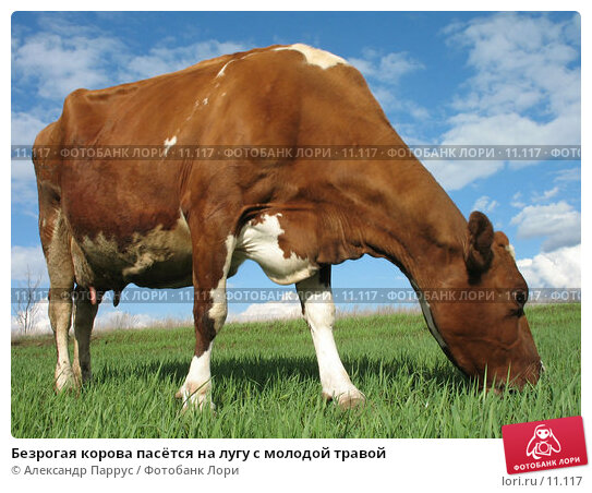 Безрогая корова пасётся на лугу с молодой травой, фото № 11117, снято 16 апреля 2006 г. (c) Александр Паррус / Фотобанк Лори