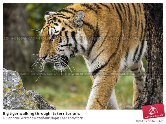 Big tiger walking through its territorium. Стоковое фото, фотограф Hanneke Wetzer / age Fotostock / Фотобанк Лори