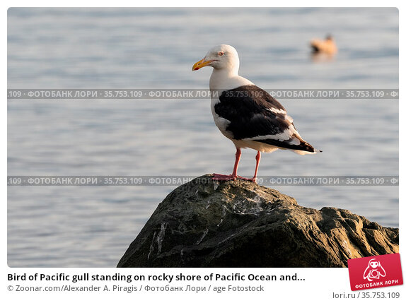 Bird of Pacific gull standing on rocky shore of Pacific Ocean and... Стоковое фото, фотограф Zoonar.com/Alexander A. Piragis / age Fotostock / Фотобанк Лори