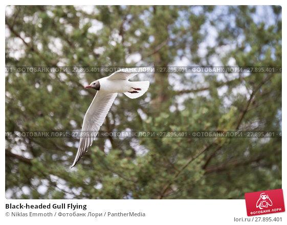 Купить «Black-headed Gull Flying», фото № 27895401, снято 26 апреля 2019 г. (c) PantherMedia / Фотобанк Лори
