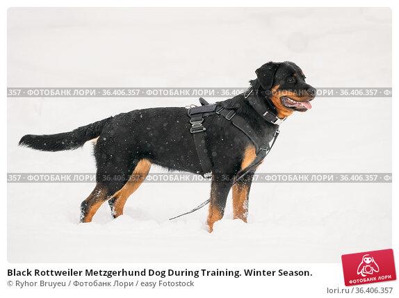 Black Rottweiler Metzgerhund Dog During Training. Winter Season. Стоковое фото, фотограф Ryhor Bruyeu / easy Fotostock / Фотобанк Лори