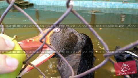 black swan eating apple, видеоролик № 26551797, снято 16 июня 2017 г. (c) Jan Jack Russo Media / Фотобанк Лори