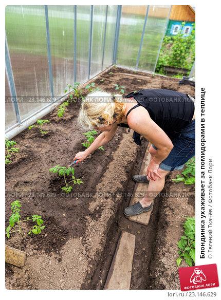Блондинка ухаживает за помидорами в теплице, фото № 23146629, снято 1 июня 2015 г. (c) Евгений Ткачёв / Фотобанк Лори