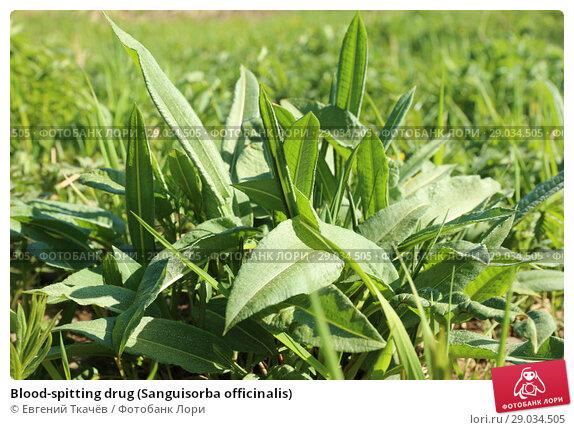 Купить «Blood-spitting drug (Sanguisorba officinalis)», фото № 29034505, снято 21 мая 2016 г. (c) Евгений Ткачёв / Фотобанк Лори