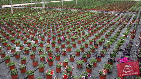 Blooming petunia seedlings in small pots growing in greenhouse. Стоковое видео, видеограф Яков Филимонов / Фотобанк Лори