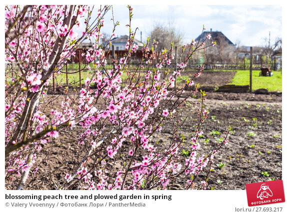 Купить «blossoming peach tree and plowed garden in spring», фото № 27693217, снято 23 апреля 2019 г. (c) PantherMedia / Фотобанк Лори