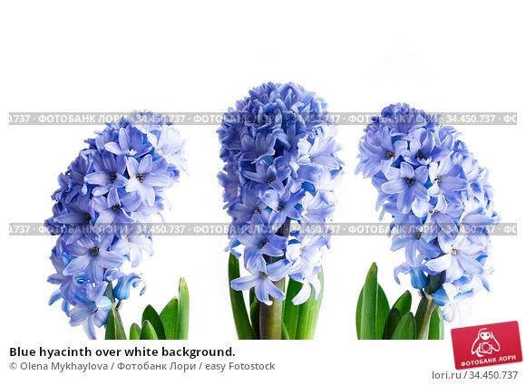 Blue hyacinth over white background. Стоковое фото, фотограф Olena Mykhaylova / easy Fotostock / Фотобанк Лори