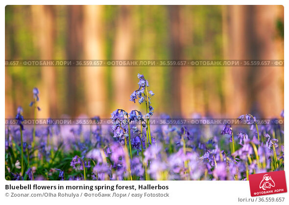 Bluebell flowers in morning spring forest, Hallerbos. Стоковое фото, фотограф Zoonar.com/Olha Rohulya / easy Fotostock / Фотобанк Лори