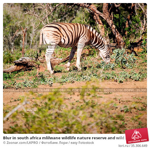 Blur in south africa mlilwane wildlife nature reserve and wild zebra. Стоковое фото, фотограф Zoonar.com/LKPRO / easy Fotostock / Фотобанк Лори