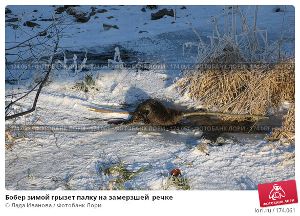 Купить «Бобер зимой грызет палку на замерзшей  речке», фото № 174061, снято 5 января 2008 г. (c) Лада Иванова / Фотобанк Лори