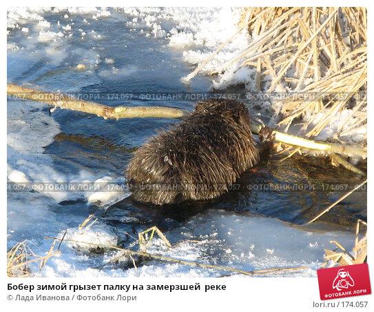 Купить «Бобер зимой грызет палку на замерзшей  реке», фото № 174057, снято 5 января 2008 г. (c) Лада Иванова / Фотобанк Лори