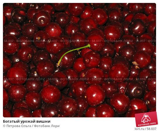 Богатый урожай вишни, фото № 58037, снято 1 июля 2007 г. (c) Петрова Ольга / Фотобанк Лори