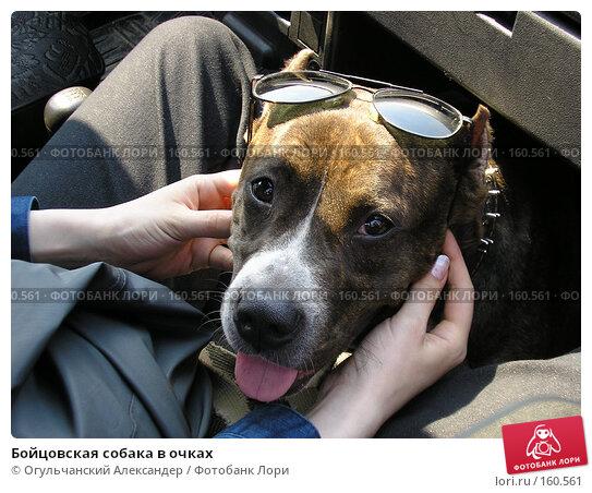 Бойцовская собака в очках, фото № 160561, снято 28 февраля 2017 г. (c) Огульчанский Александер / Фотобанк Лори