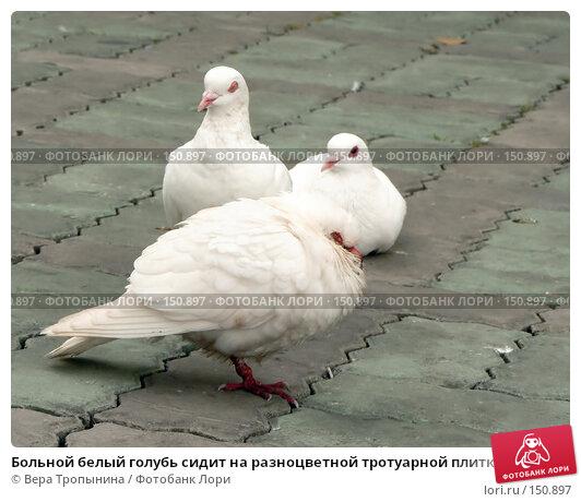 Больной белый голубь сидит на разноцветной тротуарной плитке, фото № 150897, снято 23 мая 2017 г. (c) Вера Тропынина / Фотобанк Лори