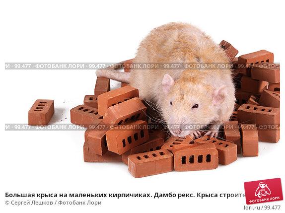 Большая крыса на маленьких кирпичиках. Дамбо рекс. Крыса строитель., фото № 99477, снято 23 июля 2017 г. (c) Сергей Лешков / Фотобанк Лори