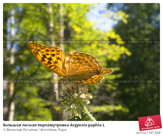 Большая лесная перламутровка Argynnis paphia L, фото № 107509, снято 4 августа 2007 г. (c) Вячеслав Потапов / Фотобанк Лори