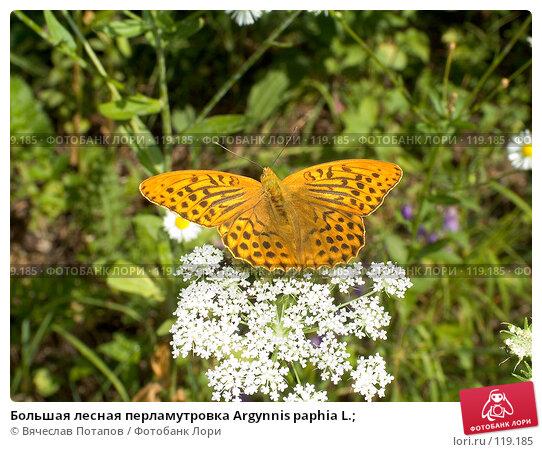 Большая лесная перламутровка Argynnis paphia L.;, фото № 119185, снято 4 августа 2007 г. (c) Вячеслав Потапов / Фотобанк Лори