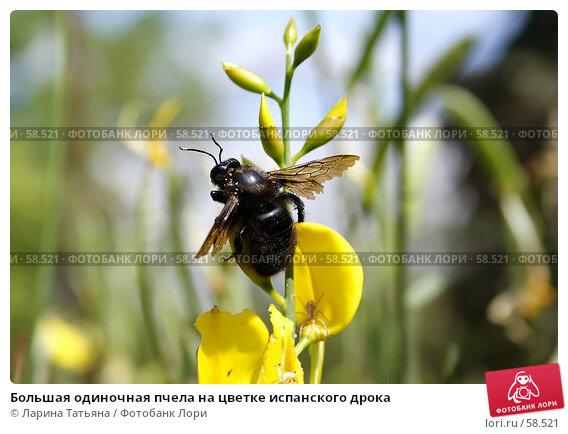 Большая одиночная пчела на цветке испанского дрока, фото № 58521, снято 26 июня 2007 г. (c) Ларина Татьяна / Фотобанк Лори