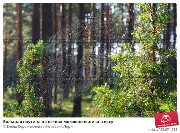 Купить «Большая паутина на ветках можжевельника в лесу», фото № 33074233, снято 2 августа 2018 г. (c) Елена Коромыслова / Фотобанк Лори