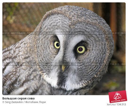 Купить «Большая серая сова», фото № 134513, снято 10 октября 2004 г. (c) Serg Zastavkin / Фотобанк Лори