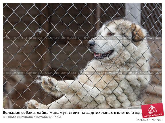 Большая собака, лайка маламут, стоит на задних лапах в клетке и ждет ласки. Стоковое фото, фотограф Ольга Липунова / Фотобанк Лори