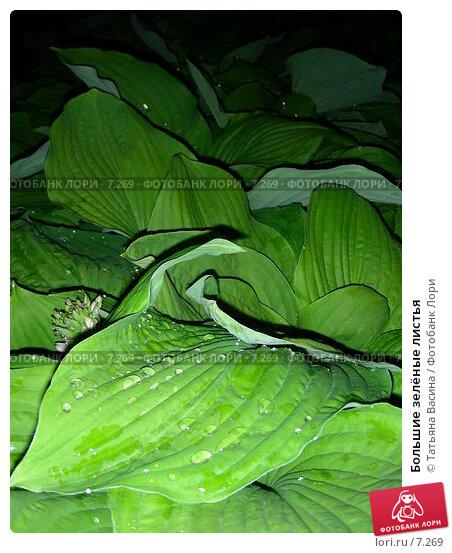 Купить «Большие зелёные листья», фото № 7269, снято 16 июня 2006 г. (c) Татьяна Васина / Фотобанк Лори