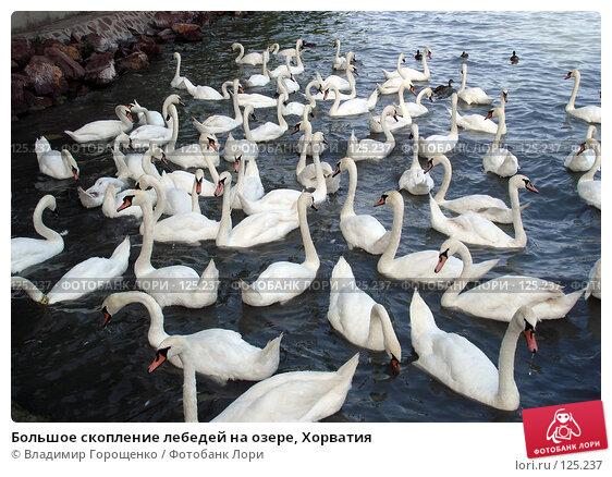 Большое скопление лебедей на озере, Хорватия, эксклюзивное фото № 125237, снято 30 июля 2005 г. (c) Владимир Горощенко / Фотобанк Лори