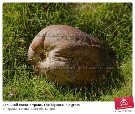 Большой кокос в траве. The big coco in a grass, фото № 183541, снято 24 января 2017 г. (c) Парушин Евгений / Фотобанк Лори