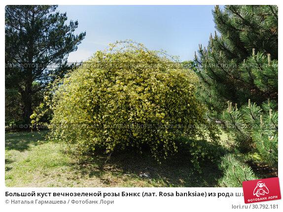 Большой куст вечнозеленой розы Бэнкс (лат. Rosa banksiae) из рода шиповник (лат. Rosa) семейства розоцветных в городском саду. Стоковое фото, фотограф Наталья Гармашева / Фотобанк Лори
