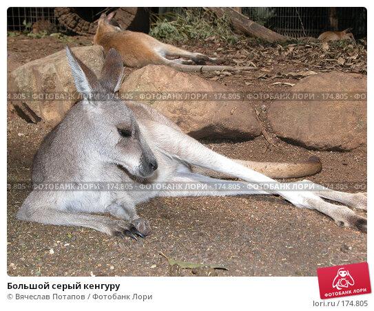 Большой серый кенгуру, фото № 174805, снято 11 октября 2006 г. (c) Вячеслав Потапов / Фотобанк Лори