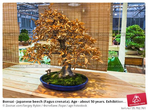 Bonsai - Japanese beech (Fagus crenata). Age - about 50 years. Exhibition... Стоковое фото, фотограф Zoonar.com/Sergey Rybin / age Fotostock / Фотобанк Лори