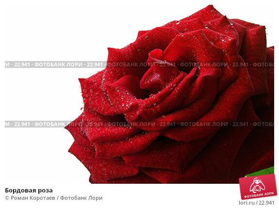 Купить «Бордовая роза», фото № 22941, снято 12 марта 2007 г. (c) Роман Коротаев / Фотобанк Лори