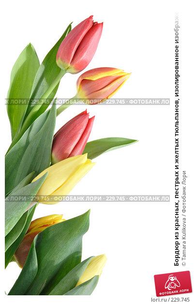 Бордюр из красных, пестрых и желтых тюльпанов, изолированное изображение, фото № 229745, снято 22 марта 2008 г. (c) Tamara Kulikova / Фотобанк Лори
