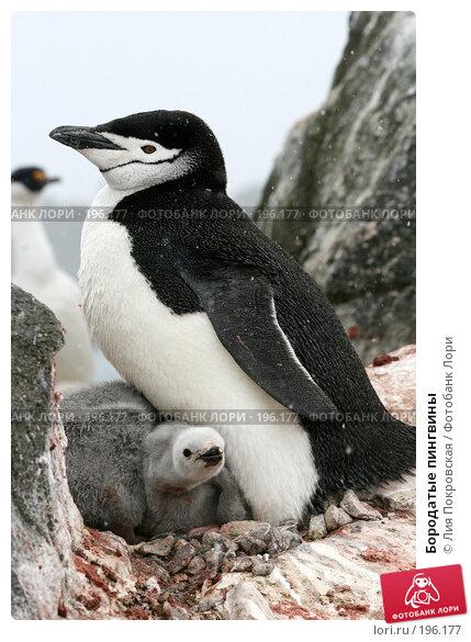 Бородатые пингвины, фото № 196177, снято 15 января 2008 г. (c) Лия Покровская / Фотобанк Лори