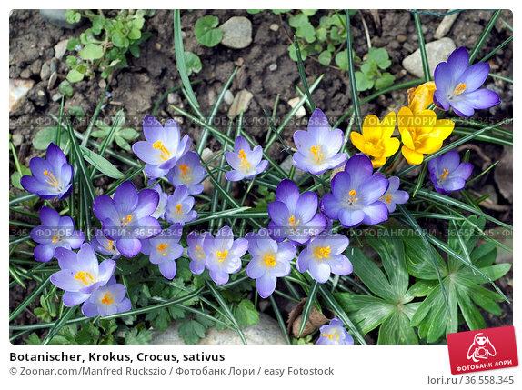 Botanischer, Krokus, Crocus, sativus. Стоковое фото, фотограф Zoonar.com/Manfred Ruckszio / easy Fotostock / Фотобанк Лори