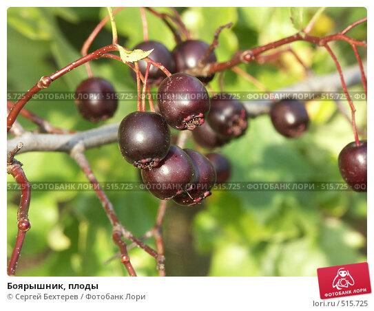 Купить «Боярышник, плоды», фото № 515725, снято 25 сентября 2004 г. (c) Сергей Бехтерев / Фотобанк Лори