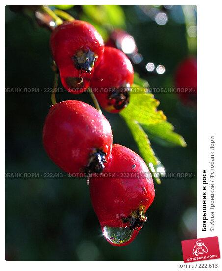 Купить «Боярышник в росе», фото № 222613, снято 20 сентября 2005 г. (c) Илья Троицкий / Фотобанк Лори