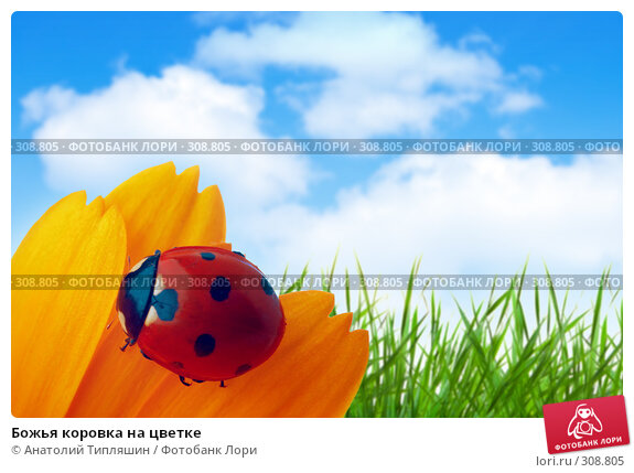 Божья коровка на цветке, фото № 308805, снято 29 июня 2017 г. (c) Анатолий Типляшин / Фотобанк Лори