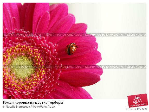 Божья коровка на цветке герберы, эксклюзивное фото № 122069, снято 7 октября 2007 г. (c) Natalia Nemtseva / Фотобанк Лори