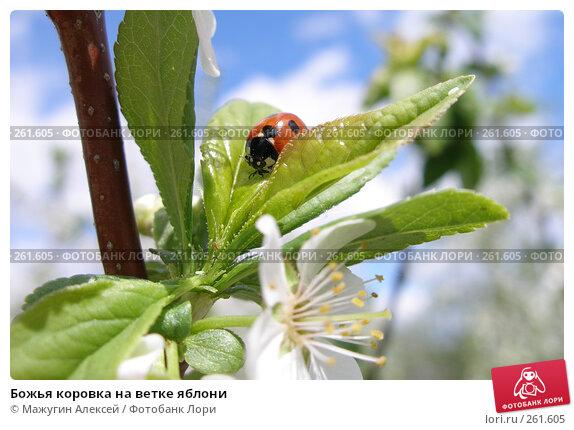 Божья коровка на ветке яблони, фото № 261605, снято 20 мая 2007 г. (c) Мажугин Алексей / Фотобанк Лори