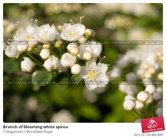 Branch of blooming white spirea. Стоковое фото, фотограф Argument / Фотобанк Лори