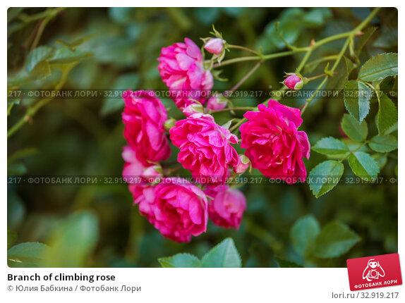 Купить «Branch of climbing rose», фото № 32919217, снято 12 июля 2018 г. (c) Юлия Бабкина / Фотобанк Лори