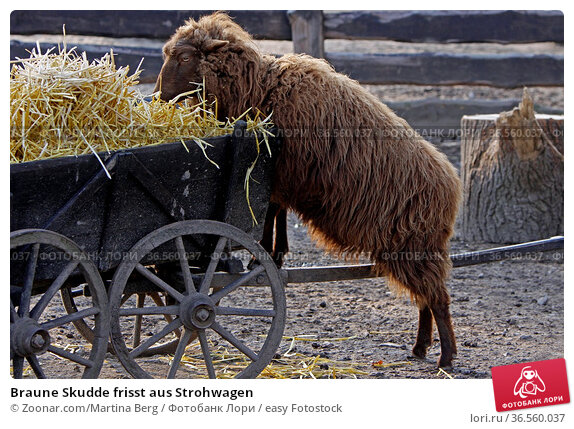 Braune Skudde frisst aus Strohwagen. Стоковое фото, фотограф Zoonar.com/Martina Berg / easy Fotostock / Фотобанк Лори