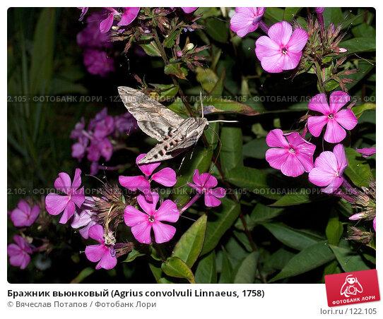 Бражник вьюнковый (Agrius convolvuli Linnaeus, 1758), фото № 122105, снято 5 августа 2007 г. (c) Вячеслав Потапов / Фотобанк Лори