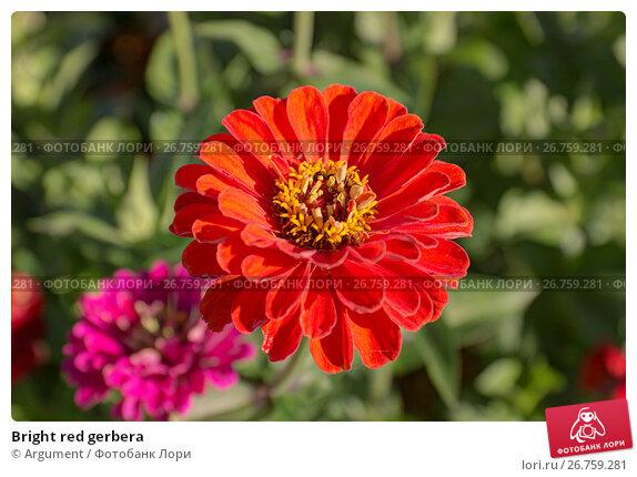 Купить «Bright red gerbera», фото № 26759281, снято 3 сентября 2014 г. (c) Argument / Фотобанк Лори
